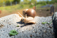 Snail on concrete block Royalty Free Stock Photography