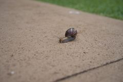 Snail on concrete side walk. At night these little guys come out. Found him while in Maui Island Royalty Free Stock Images