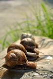 Snail contest Stock Photography