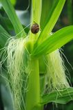 Snail on the corn stalk Royalty Free Stock Photo