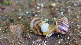Snail Couple Make Love. stock footage