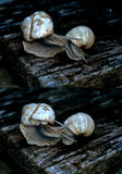 Snail courtship Royalty Free Stock Image
