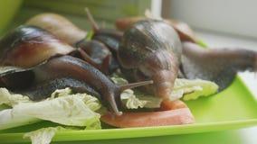 Snail crawl along the grass. Burgundy snail, Helix pomatia also Roman snail, edible snail or escargot, is a species of. Helix pomatia also Roman snail, Burgundy stock video footage