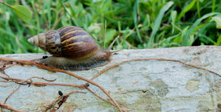 Snail. Crawl forward on the timber slowly Royalty Free Stock Image