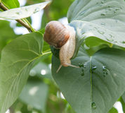 Snail crawl over the green leaves Royalty Free Stock Images