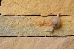 Snail crawl slowly on the wall Stock Photography