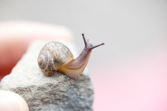 Snail crawl on the stone Stock Image
