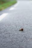 Snail crawl on wet asphalt road Royalty Free Stock Photo