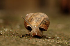 Snail crawling Royalty Free Stock Photos