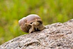 snail crawling Stock Image