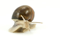 Snail crawling Stock Photos