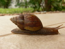 Snail crawling Stock Photography