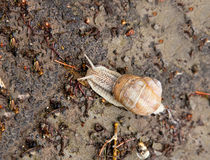 Snail crawling Royalty Free Stock Photos