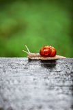 Snail crawling. Big snail crawling on a wooden surface Royalty Free Stock Photo