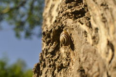Snail crawling on the bark of a tree. Cute snail crawling on the bark of a tree and basking in the sun Stock Images