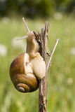 Snail crawling on a branch Stock Photography