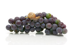 Snail crawling on a cluster of dark grapes. white background. Stock Image