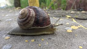 Snail crawling stock video footage