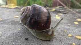 Snail crawling stock footage