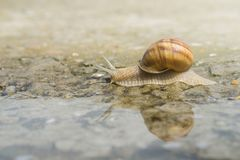 Snail crawling on concrete on the edge of water after rain. Snail reflection on water stock photo