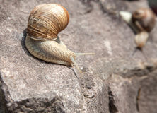 Snail crawling down close-up royalty free stock image
