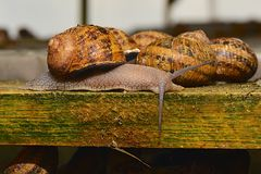 Snail crawling on the farm Royalty Free Stock Photo