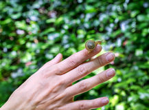 Snail crawling on female hand. Little snail crawling on female hand on green background in forest royalty free stock photography