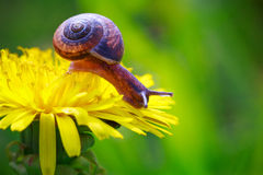 Snail crawling Stock Images
