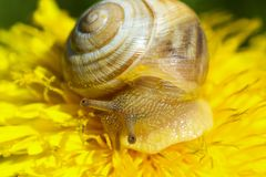 Snail. Crawling on a flower, macro shot Royalty Free Stock Photography