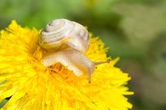 Snail. Crawling on a flower, macro shot Royalty Free Stock Photo