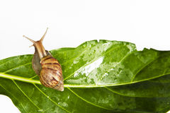 Snail crawling on fresh leaf Stock Photo