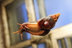 Snail crawling on a glass window in the background. Medicine and beauty industry Royalty Free Stock Photo