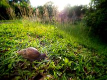 Snail Crawling on The Grass behind The Sun Light. The Snail Crawling on The Grass behind The Sun Light in The Morning stock photo