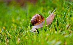 Snail crawling on grass. Common garden snail closeup, crawling on fresh green grass stock photo