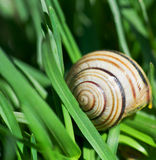Snail. Crawling through grass  of macro shot Royalty Free Stock Photography