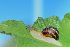 Snail crawling on green leaf Royalty Free Stock Image