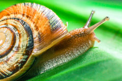 Snail crawling on green leaf closeup Stock Photography