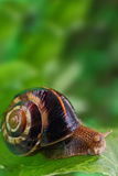 Snail crawling on green leaf. And copy-space Stock Photography