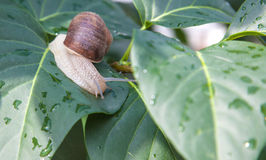 Snail crawling on green leaves Royalty Free Stock Photo
