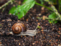 Snail crawling. On the ground royalty free stock photography