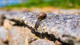 Snail crawling on a hard rock texture in nature; brown striped s Royalty Free Stock Photos