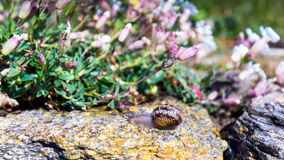 Snail crawling on a hard rock texture in nature; brown striped s Stock Images