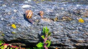 Snail crawling on a hard rock texture in nature; brown striped s Stock Photo