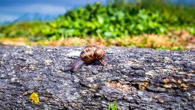Snail crawling on a hard rock texture in nature; brown striped s Stock Photography