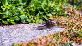 Snail crawling on a hard rock texture in nature; brown striped s Royalty Free Stock Photography