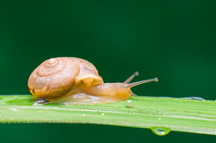 A snail. Royalty Free Stock Image