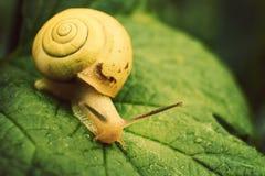 Snail Royalty Free Stock Photos
