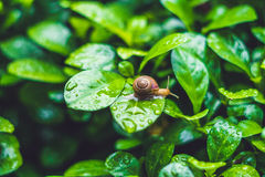 Snail crawling on a leaf with drops of water after rain royalty free stock photo