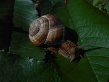 Snail crawling on a leaf. Snail crawling on a green leaf, close up stock photos