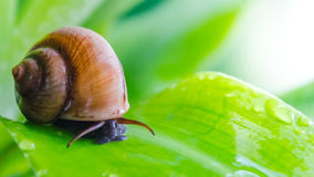 Snail crawling on leaf. Royalty Free Stock Images